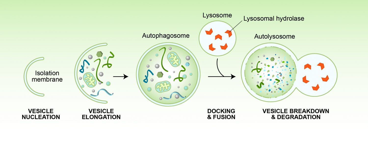 Autophagy Stages -3