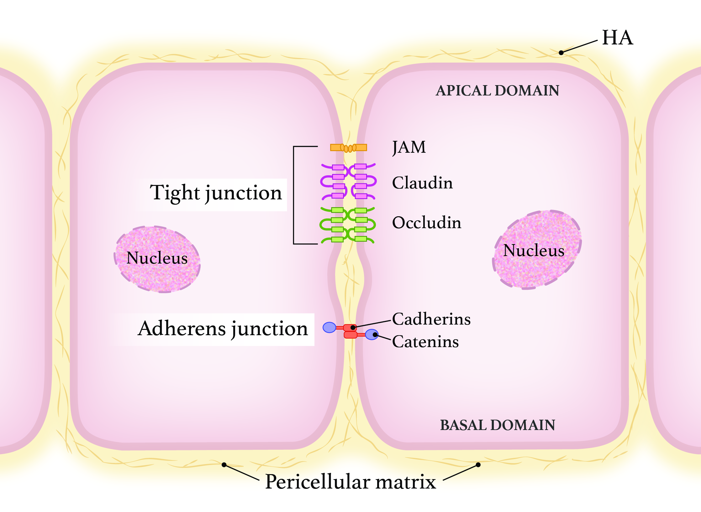 Epithelial Barrier